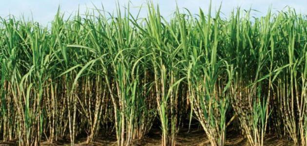 نقص الأسمدة الزراعية يهدد محصول القصب في قنا