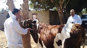 تحصين أكثر من  117 ألف رأس ماشية ببني سويف