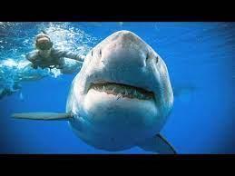 «الغوص» تحذر من ظهور أسماك القرش خلال الأشهر القادمة
