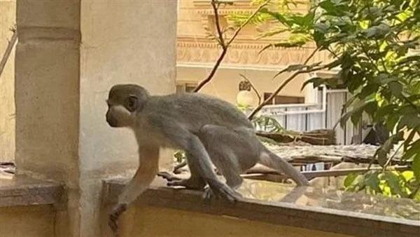 لضبط القرود الهاربة.. 3 جهات في مهمة رسمية