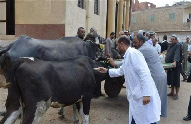 تحصين أكثر من 48 ألف رأس ماشية فى بني سويف